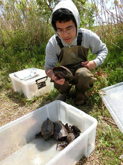 カミツキガメの画像 p1_11